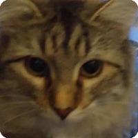 Adopt A Pet :: Calvin - batlett, IL