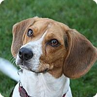 Adopt A Pet :: Beegley - Portland, OR