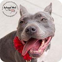 Adopt A Pet :: Belle - Mesa, AZ