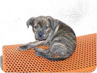 Pit Bull Terrier Mix Puppy for adoption in Elwood, Illinois - Kingston