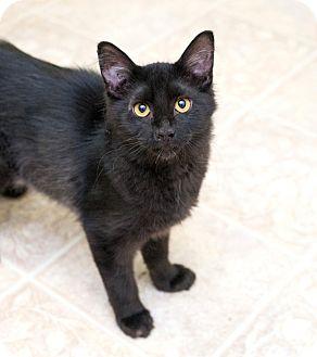 Domestic Mediumhair Kitten for adoption in Shelton, Washington - Danny