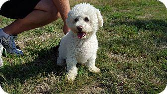 Bichon Frise Dog for adoption in Vancouver, Washington - Hansel