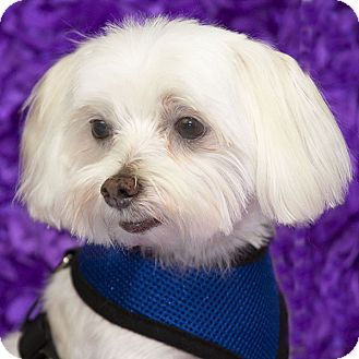 Maltese Dog for adoption in Covina, California - Ozzie