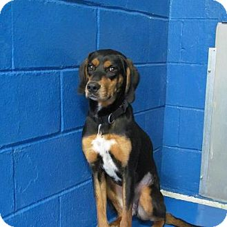 Hound (Unknown Type) Dog for adoption in Newburgh, Indiana - fiona