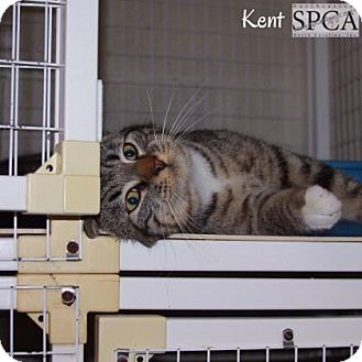 Domestic Shorthair Cat for adoption in Elizabeth City, North Carolina - Kent
