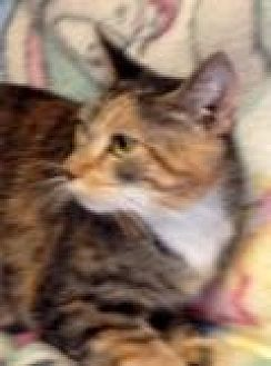 Domestic Shorthair Cat for adoption in Porter, Texas - Adele