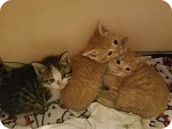 Domestic Shorthair Kitten for adoption in Whitestone, New York - 3 Angels