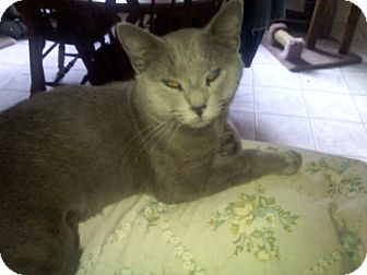Domestic Shorthair Cat for adoption in Irwin, Pennsylvania - Smokey