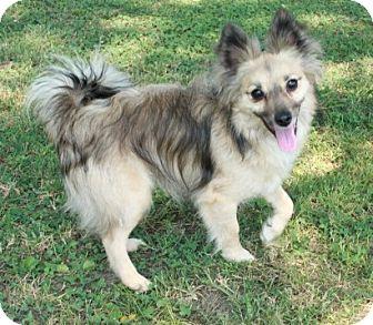 Pomeranian Mix Dog for adoption in Brattleboro, Vermont - Little Man