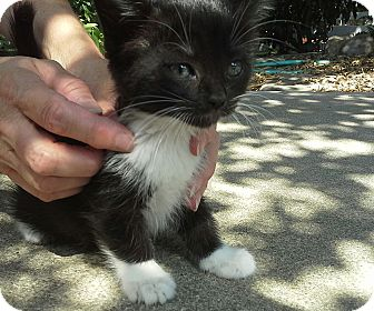Domestic Shorthair Kitten for adoption in Monrovia, California - Kovu