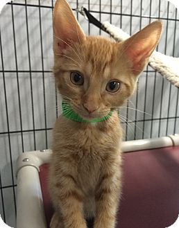 Domestic Shorthair Cat for adoption in Bonner Springs, Kansas - Dave