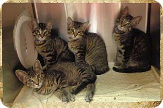 Domestic Shorthair Kitten for adoption in Marietta, Georgia - SHAGGY, SNOWBALL, & SIMBA (R)