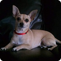 Adopt A Pet :: Shelby - st peters, MO