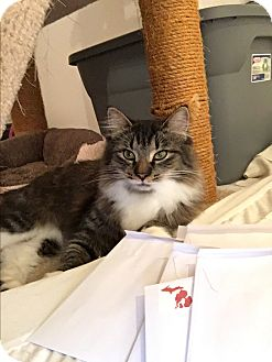 Maine Coon Cat for adoption in Westland, Michigan - Fluffy