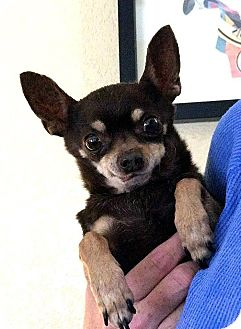 Chihuahua Dog for adoption in Tijeras, New Mexico - Tazzy