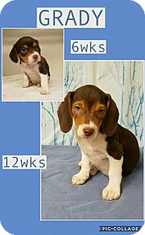 Beagle Mix Puppy for adoption in East Hartford, Connecticut - Grady-pending adoption