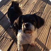 Adopt A Pet :: Savana - San Antonio, TX