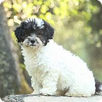 Adopt A Pet :: Itsy Bitsy - Auburn, CA