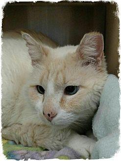 Siamese Cat for adoption in Pueblo West, Colorado - Timothy