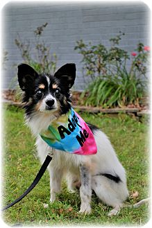 Papillon Mix Dog for adoption in Southern Pines, North Carolina - Spirit