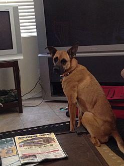 German Shepherd Dog/Great Dane Mix Dog for adoption in Riverside, California - Brooklyn