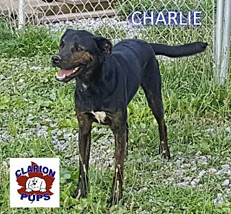 Jack Russell Terrier/Labrador Retriever Mix Dog for adoption in Strattanville, Pennsylvania - CHARLIE