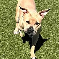 Adopt A Pet :: Vixen - Tonawanda, NY