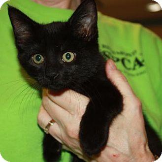 Domestic Shorthair Kitten for adoption in Richmond, Virginia - Blam