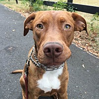 Adopt A Pet :: Roscoe - Forest grove, OR