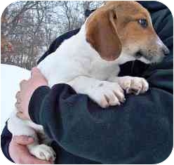 Beagle/Basset Hound Mix Puppy for adoption in Osseo, Minnesota - Henry