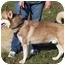 Photo 3 - Siberian Husky Dog for adoption in Somerset, Pennsylvania - Sammy