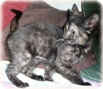 Domestic Shorthair Kitten for adoption in Brighton, Michigan - Zephie