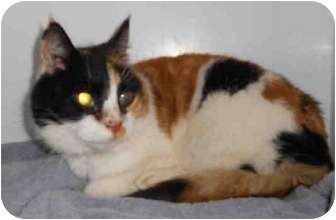 Domestic Shorthair Cat for adoption in Yuba City, California - Kitty
