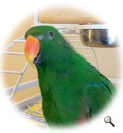 Eclectus for adoption in Red Oak, Texas - Rudy