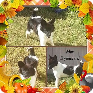 Border Collie Mix Dog for adoption in San Antonio, Texas - Max