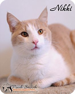 American Shorthair Cat for adoption in Broadway, New Jersey - Nikki