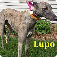 Adopt A Pet :: Lupo - Fremont, OH