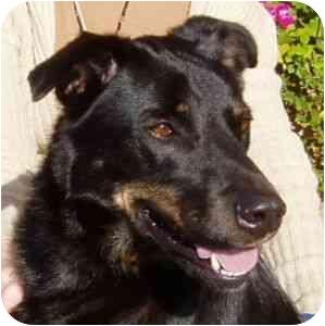 Labrador Retriever/German Shepherd Dog Mix Dog for adoption in Berkeley, California - Oso