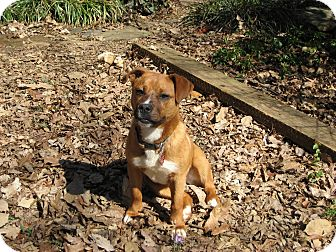 Boxer Mix Dog for adoption in Hagerstown, Maryland - Major
