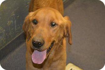 Golden Retriever Mix Dog for adoption in Edwardsville, Illinois - Cassie