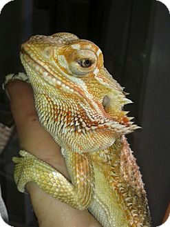 Lizard for adoption in Los Angeles, California - Benji (Young Bearded Dragon)