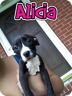 American Pit Bull Terrier Puppy for adoption in Coats, North Carolina - Alicia