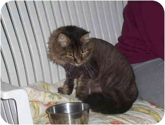 Maine Coon Cat for adoption in Huntingdon, Pennsylvania - Miss Kitty