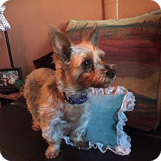 Yorkie, Yorkshire Terrier Mix Dog for adoption in Parker, Colorado - MISSY