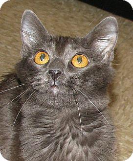 Domestic Longhair Cat for adoption in Tulsa, Oklahoma - Layla