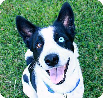 Border Collie Mix Dog for adoption in Allen, Texas - Gemma