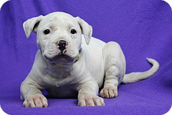 American Bulldog Mix Puppy for adoption in Westminster, Colorado - Saige