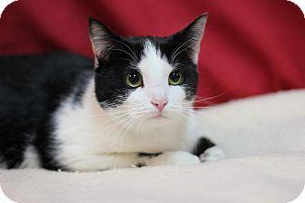 Domestic Shorthair Cat for adoption in Midland, Michigan - Tweetie - BARN