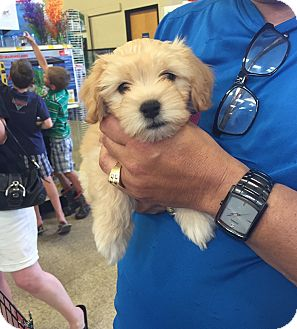 Terrier (Unknown Type, Small)/Spaniel (Unknown Type) Mix Puppy for adoption in Brea, California - Gina