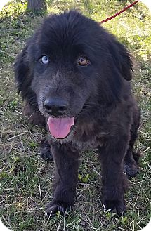 Australian Shepherd/Great Pyrenees Mix Dog for adoption in Red Bluff, California - Dixie